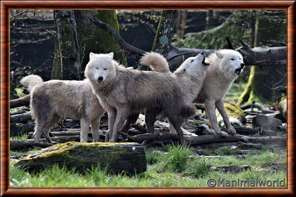 Loup arctique 04