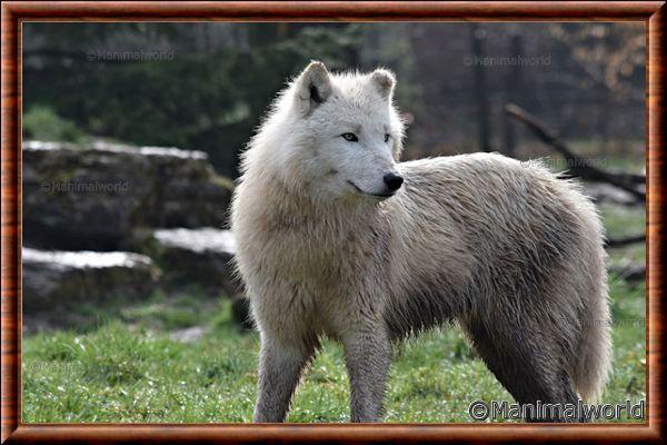 Loup arctique 08