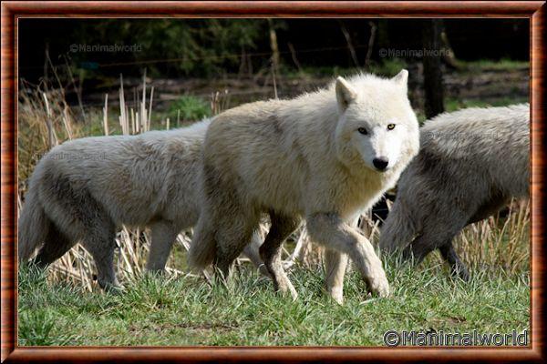 Loup arctique - loup arctique 18