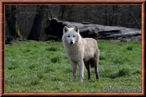 Loup arctique - loup arctique 10