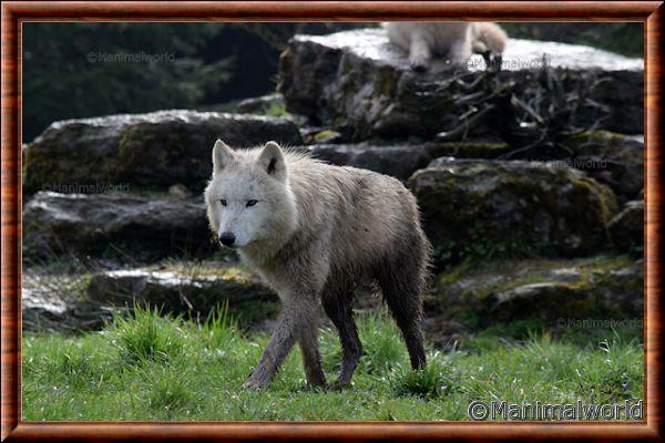 Loup arctique - loup arctique 13