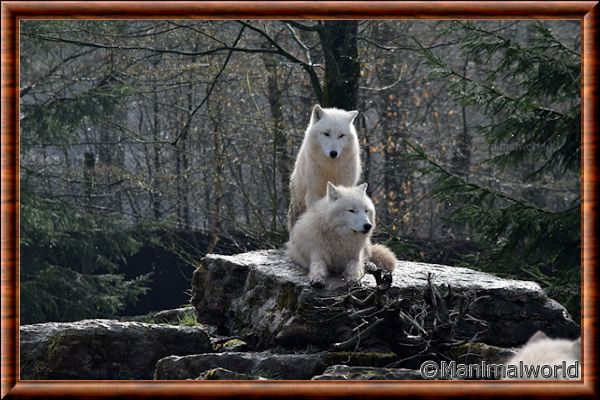 Loup arctique - loup arctique 15