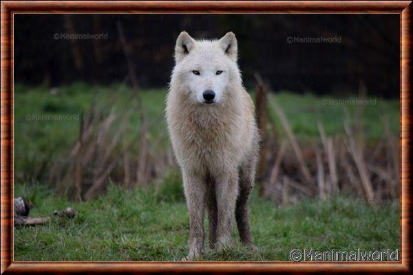 Loup arctique - loup arctique 16