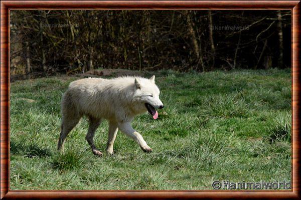 Loup arctique - loup arctique 17