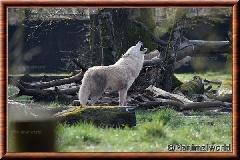 Loup arctique - louparctique2