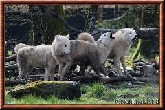 Loup arctique - louparctique5