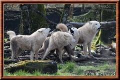 Loup arctique - louparctique6
