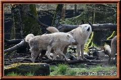 Loup arctique - louparctique7