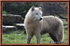 Loup arctique - loup arctique 08