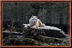 Loup arctique - loup arctique 09
