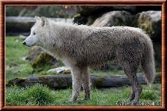 Loup arctique - loup arctique 11