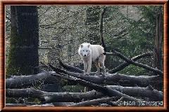 Loup arctique - loup arctique 12