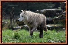 Loup arctique - loup arctique 14