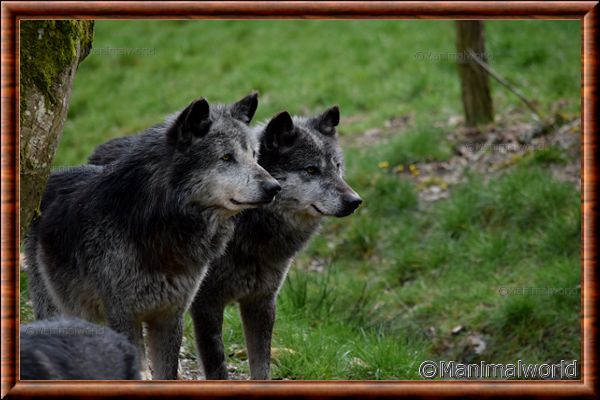 Loup du Canada 06