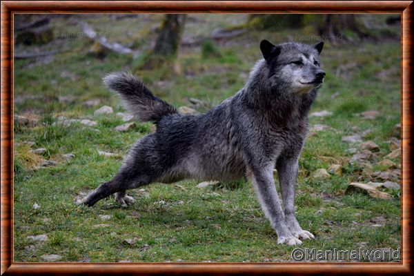 Loup du Canada 07