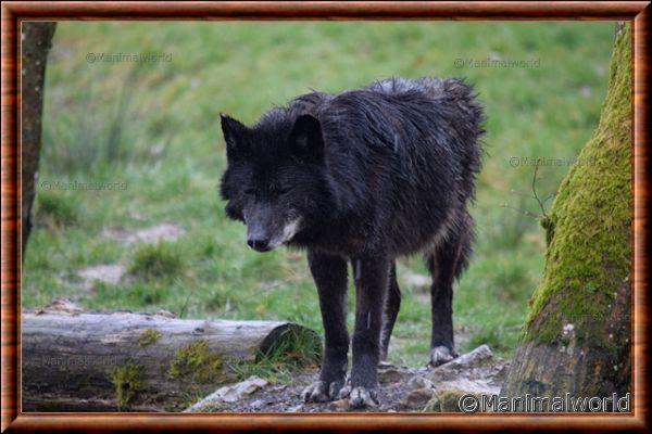 Loup du Canada 08