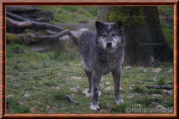 Loup du Canada 09