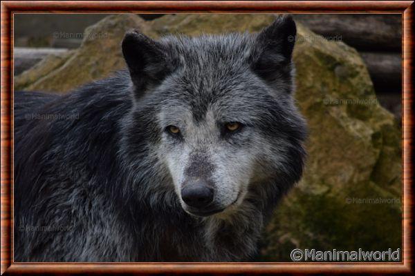 Loup du Canada 11