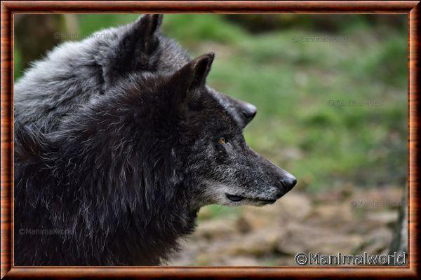 Loup du Canada 12