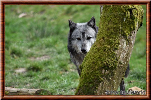 Loup du Canada 13
