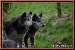Loup du Canada - Loup du Canada
