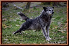 Loup du Canada - Loup du Canada 07