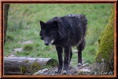 Loup du Canada - loup du Canada 08