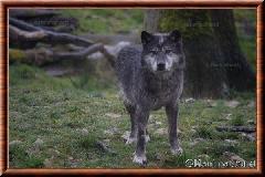 Loup du Canada - loup du Canada 09
