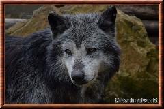 Loup du Canada - loup du Canada 11