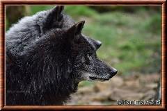 Loup du Canada - loup du Canada 12