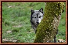 Loup du Canada - loup du Canada 13