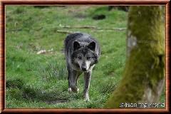 Loup du Canada - loup du Canada 39