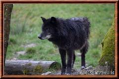 Loup du Canada - loup du Canada 14