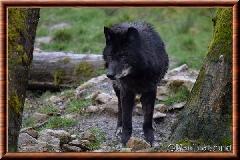 Loup du Canada - loup du Canada 15