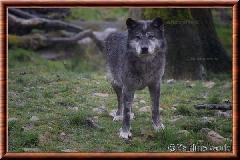 Loup du Canada - loup du Canada 16