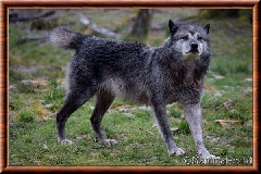Loup du Canada - loup du Canada 17