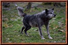 Loup du Canada - loup du Canada 18