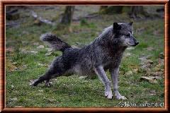 Loup du Canada - loup du Canada 19