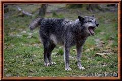 Loup du Canada - loup du Canada 21