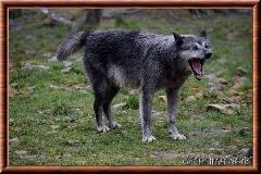 Loup du Canada - loup du Canada 22