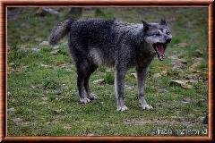 Loup du Canada - loup du Canada 23