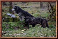Loup du Canada - loup du Canada 24
