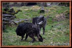 Loup du Canada - loup du Canada 25