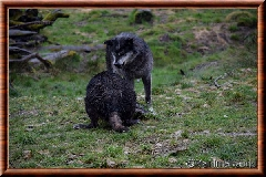Loup du Canada - loup du Canada 27