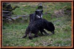 Loup du Canada - loup du Canada 28
