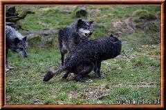 Loup du Canada - loup du Canada 29