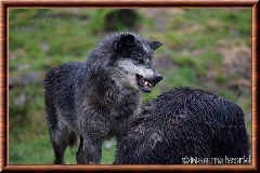 Loup du Canada - loup du Canada 30