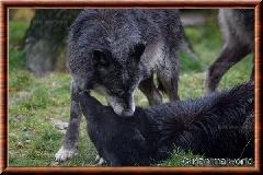 Loup du Canada - loup du Canada 31