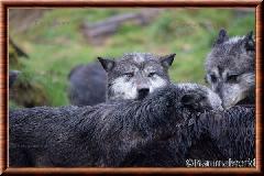 Loup du Canada - loup du Canada 32
