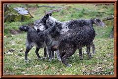 Loup du Canada - loup du Canada 33
